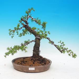 Outdoor bonsai -Larix decidua - Larch deciduous