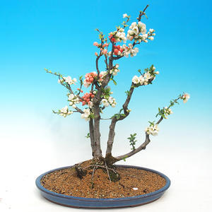 Outdoor bonsai - Chaenomeles - Two-color quince