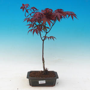 Outdoor bonsai - Acer palm. Atropurpureum-Maple dlanitolistý