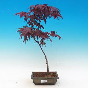 Outdoor bonsai - Acer palm. Atropurpureum-Maple dlanitolistý