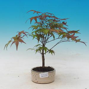 Outdoor bonsai - dlanitolistý Maple - Acer palmatum DESHOJO