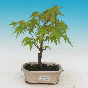 Outdoor bonsai - Acer pal. Sango Kaku - Maple dlanitolistý