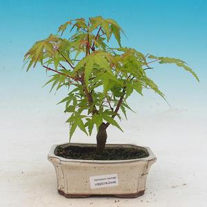 Outdoor bonsai - Acer pal. Sango Kaku - Maple dlanitolistý