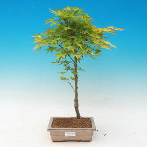 Acer palmatum Aureum - Maple dlanitolistý gold