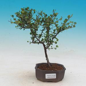 Outdoor bonsai - dwarf birch - Betula NANA