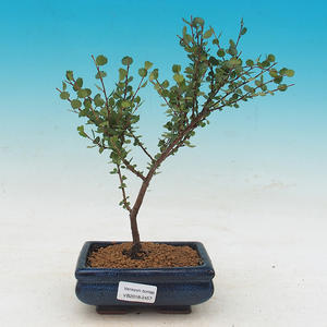 Outdoor bonsai - dwarf birch - Betula NANA