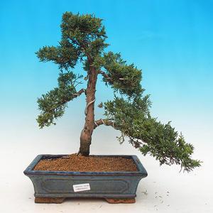 Outdoor bonsai - Juniperus chinensis - Chinese juniper