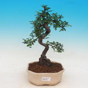 Room bonsai - Ulmus parvifolia - Malolistý elm