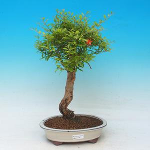 Room bonsai-PUNICA granatum nana-Pomegranate