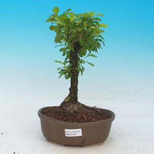 Room bonsai - Duranta erecta Aurea