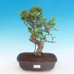 Room bonsai - Ficus kimmen - malolistý ficus