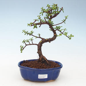 Indoor bonsai - Portulakaria Afra - Tlustice 414-PB2191350