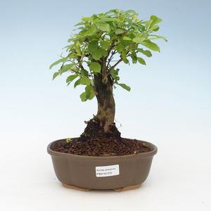 Indoor bonsai - Duranta erecta Aurea 414-PB2191370