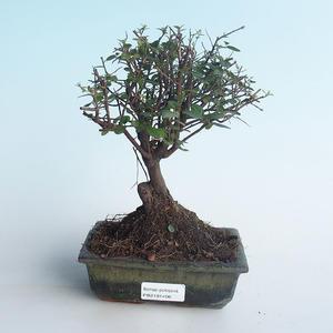 Indoor bonsai - Sagerécie thea - Sagerécie thea 414-PB2191406