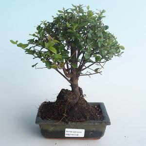 Indoor bonsai - Sagerécie thea - Sagerécie thea 414-PB2191408