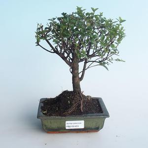 Indoor bonsai - Sagerécie thea - Sagerécie thea 414-PB2191409