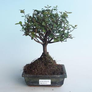 Indoor bonsai - Sagerécie thea - Sagerécie thea 414-PB2191410