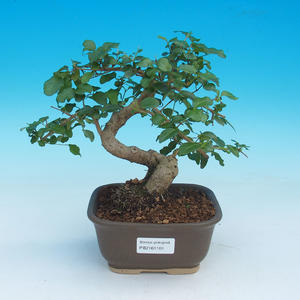 Room bonsai -Ligustrum chinensis - privet