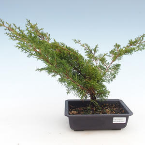 Outdoor bonsai - Juniperus chinensis Itoigawa-Chinese juniper VB2019-261004