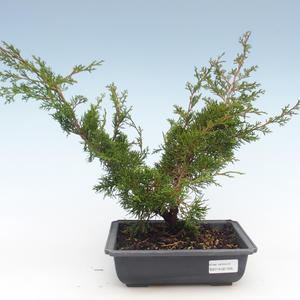 Outdoor bonsai - Juniperus chinensis Itoigawa-Chinese juniper VB2019-261005