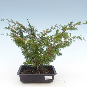 Outdoor bonsai - Juniperus chinensis Itoigawa-Chinese juniper VB2019-261006