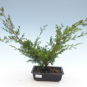 Outdoor bonsai - Juniperus chinensis Itoigawa-Chinese juniper VB2019-261011