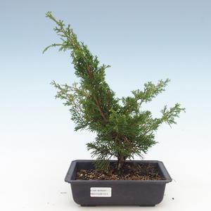 Outdoor bonsai - Juniperus chinensis Itoigawa-Chinese juniper VB2019-261013