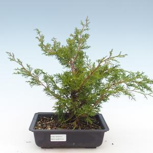 Outdoor bonsai - Juniperus chinensis Itoigawa-Chinese juniper VB2019-261014
