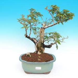 Room bonsai - bougainvillea