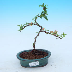 Outdoor bonsai - Japanese quince