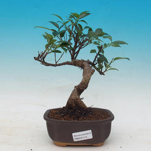 Room bonsai - Ficus kimmen - little ficus