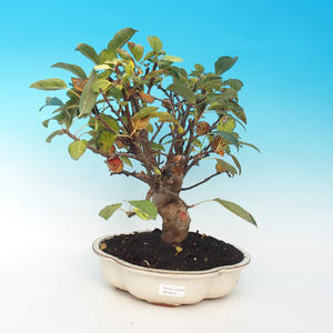 Outdoor bonsai -Malus Halliana - fruited apple