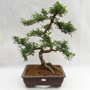 Indoor bonsai - Zantoxylum piperitum - Pepper tree PB2191200