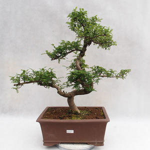 Indoor bonsai - Zantoxylum piperitum - Pepper tree PB2191201
