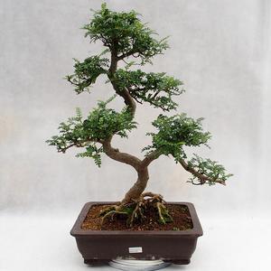 Indoor bonsai - Zantoxylum piperitum - Pepper tree PB2191202