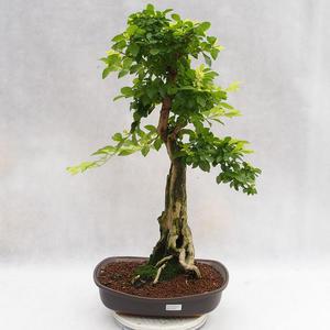 Indoor bonsai - Duranta erecta Aurea PB2191203