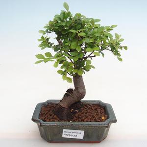 Indoor bonsai - Duranta erecta Aurea PB2191205