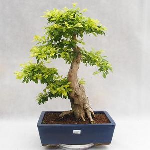Indoor bonsai - Duranta erecta Aurea PB2191206