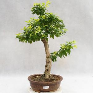 Indoor bonsai - Duranta erecta Aurea PB2191207