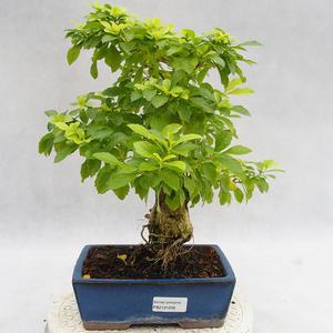 Indoor bonsai - Duranta erecta Aurea PB2191208
