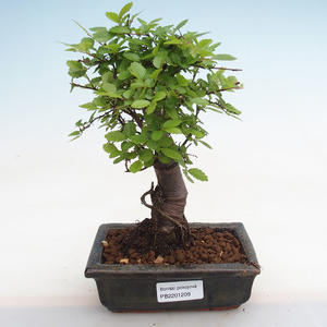 Indoor bonsai - Duranta erecta Aurea PB2191209
