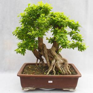 Indoor bonsai - Duranta erecta Aurea PB2191210