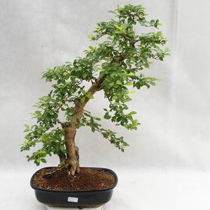 Indoor bonsai - Duranta erecta Aurea PB2191211