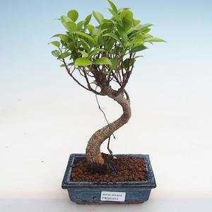 Indoor bonsai - Podocarpus - Stone yew PB2191213