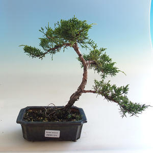 Indoor bonsai - Ficus kimmen - small leaf ficus PB2191214