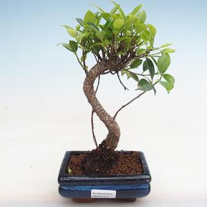 Indoor bonsai - Ficus kimmen - small leaf ficus PB2191215