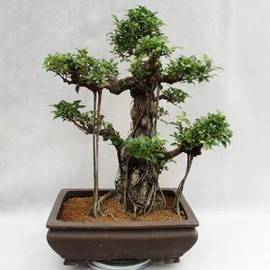 Indoor bonsai - Ficus kimmen - small leaf ficus PB2191216