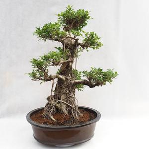 Indoor bonsai - Ficus kimmen - small leaf ficus PB2191217