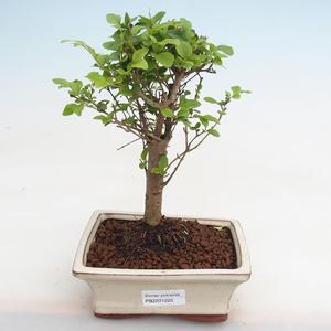 Indoor bonsai - Ficus kimmen - small leaf ficus PB2191220
