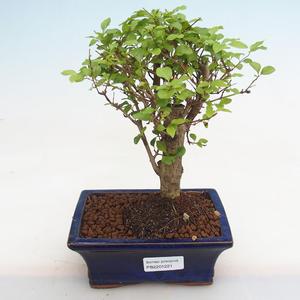 Indoor bonsai - Fraxinus angustifolia - Indoor Ash PB2191221